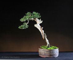 """Harry Harrington Juniper sabina bonsai/ Juniperus sabina var. sabina Height 10""""/27cm Purchased as raw yamadori in 2013 and styled in April this year. Pot by Victor Harris A progression series for this tree can be seen on my website here: http://www.bonsai4me.com/AdvTech/AT%20Juniper%20sabina%20literati%20bonsai.html"""