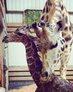 Tufani has a knack for this so far. Welcome to the world, little one! And welcome to motherhood, Tufani. 💛  If you missed this morning's news, we're celebrating the birth of Seattle's #tallestbaby. Full story at our profile link.  #adorable #family #mama #giraffesofinstagram #giraffes #zoolife #precious #woodlandparkzoo #momlife