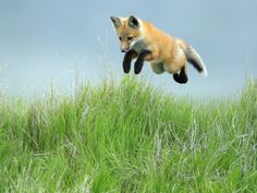 BOING. babbeh foxeh y u so cute?