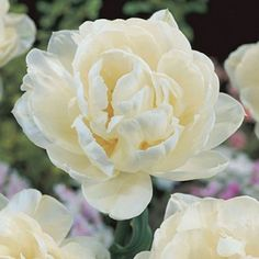 Double Late Tulip Bulbs Mount Tacoma   Tulipa   Large Healthy Bulbs for the Biggest Blooms
