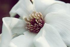 Magnolias.    Buy Prints Here: http://www.etsy.com/shop/LesChouettes