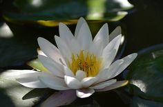 Lírio D'Água, Branco, Planta Aquática, Água, Flor