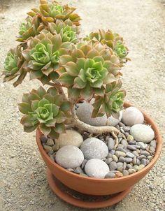Super Ideas For Succulent Cactus Terrarium Succulents In Containers, Cacti And Succulents, Planting Succulents, Cactus Plants, Garden Plants, Indoor Plants, Planting Flowers, Cactus Terrarium, Succulent Bonsai