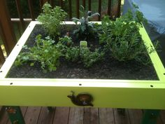 Close-up of my light table herb garden.