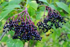 Elderberry: Natural Remedy for Colds, the Flu, Inflammation . Even Cancer! - The Grow Network - Elderberry: Natural Remedy for Colds, the Flu, Inflammation … Even Cancer! – The Grow Network : - Elderberry Benefits, Elderberry Plant, Elderberry Juice, Elderberry Recipes, Superfoods, Elderberry Season, Ginger And Cinnamon, Edible Wild Plants, Natural Cold Remedies