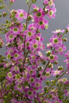 Blue Flowering Lepto - Obra Verde Growers 6x8