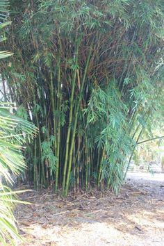 在加拿大养花弄草:竹子怎么种?