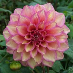 Dahlia hybird. Soft pink petaled blooms overlaid with yellow brush marks. Large rounded blooms of up to 15cm whose lush foliage and mass of blooms are sure to fill any hole in your garden. These amazing flowers usually take 120 days to bloom once planted.