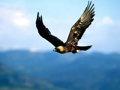golden eagle hunting: love this shoot!