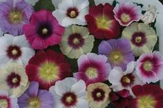 Check out the deal on Alcea (Hollyhock) rosea Halo Mix 100 seeds at Hazzard's Seeds Edible Flowers, Sugar Flowers, White Flowers, Colorful Flowers, Single Flowers, Flower Colors, Hollyhocks Flowers, Happy Lights, Daisy Painting