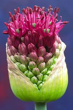 Allium - When my onions bloom I collect the flowers. Unusual Flowers, Amazing Flowers, Beautiful Flowers, Cactus Y Suculentas, Trees To Plant, Planting Flowers, Allium Flowers, Flowers Garden, Flower Power