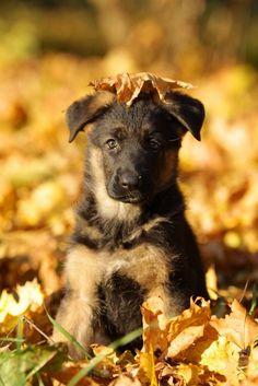 german shepherd puppy autumn fall