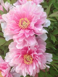 THE EASIEST WAY TO PAINT A PEONY - Yahoo Image Search Results
