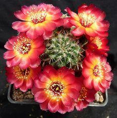 Sulcorebutia tarabucoensis var callecallensis VZ196 18