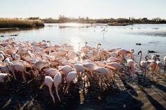 Landscape, Animals, Mauve, Camargue, Flamingos, France Travel, Scenery, Animales, Animaux