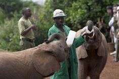 baby elephants drinking for bottles at Nairobi elephant orphanage