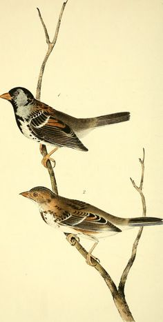 "Image from page 469 of ""The birds of America : from drawings made in the United States and their territories"" (1840)"