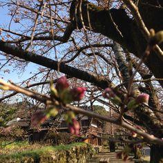 One step away from flowering 1 days. Akizuki,Asakura.
