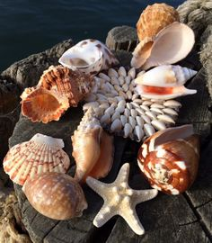 Sea Shells for sale - buy sea shells from the UK, large and small seashells, wedding shells, coloured seashells, shell bags, discount shells, starfish, knobbly starfish, small shells, sugar starfish, seashells for hire, seashell decorations, scallop shells, conus figulinus, black spotted triton, banded green turbo, harpa shells, cloth of gold cone, lambis scorpius, orange spider conch, conus marmoreus, spondylus, shell bags, wedding sea shells and sea shell gifts to buy online from from…