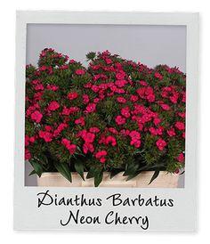 Dianthus Barbatus Neon Cherry | www.holex.com