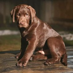 "Check out our internet site for more information on ""labrador retriever dogs"". It is actually an outstanding spot to read more. Raza Labrador, Perro Labrador Retriever, Chocolate Labrador Retriever, Retriever Puppies, Labrador Puppies, Cute Dogs And Puppies, Pet Dogs, Dog Cat, Pets"
