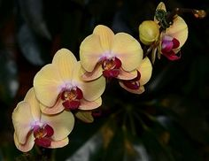 Orchids are one of the largest of all plant groups, with unique flowers and growth habits. Here are 20 tropical types that make good houseplants. Moth Orchid, Phalaenopsis Orchid, Orchid Plants, Orchid Care, All Plants, Rare Flowers, Unique Flowers, Exotic Flowers, Amazing Flowers