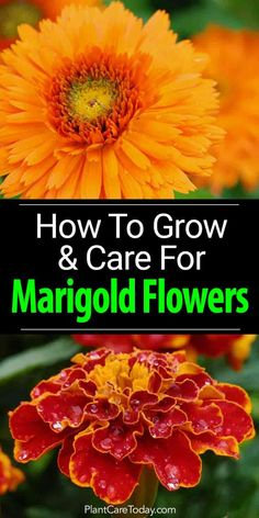 Marigold flowers - Tagetes - an easy to grow annual plant provide natural pest control and radiant sprays of multi-colored flowers. [LEARN MORE]