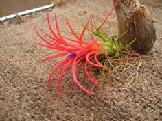Ionantha fuego.  Possible replacement for my dead Airplant.