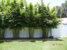 Island Bamboo Garden - Pinellas Park, FL, United States. Bambusa textilis gracilis (slender weavers) - max height- 25' There is a 2 story house behind these plants-- Perfect for privacy screening.