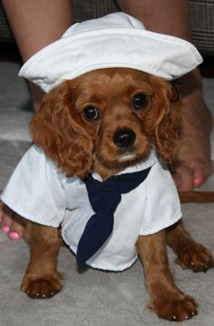 "Cavalier King Charles Spaniel Sailor...Charlie would kill me...""Why are you doing this to me mom?!"""