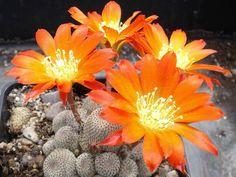 Rebutia heliosa is a small, slow growing cactus, with heads densely covered in brown areoles with short, about 0.04 inch (1 mm) long...