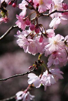 """Cherry Blossom"" Bonnie Blanton photography #spring #cherry blossom"