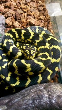 I love carpet pythons and I tend to shy away from keeping larger constrictor species, but the Irian Jaya carpet python is only between 4-6 feet. Perfect!