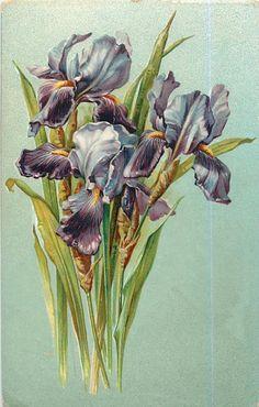1907 purple iris postcard