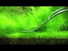 Trimming hair grass (eleocharis acicularis)