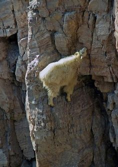 The mountain goat (Oreamnos Americanus), also known as the Rocky Mountain goat, is a large-hoofed mammal found only in North America. Despite its vernacular name, it is not a member of Capra, the genus of true goats. It stays at high elevations and is a sure-footed climber, often resting on rocky cliffs that predators cannot access.