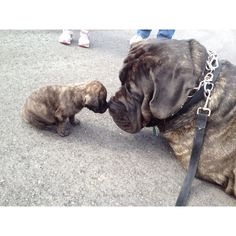 English Mastiff puppy and a 2 year old English/Neapolitan Mastiff mix touching noses!
