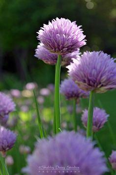 Tall Chives...beautiful purple