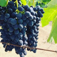 Just to think, we will be drinking these  viva il vino #Follow #instagram #vino #vineyards #vineyard #vineyardlove #Wine #winehashtag #winetasting #winelovers #winemakers #winemaking #grapes #grapevine #sunandfun #italia #italy #italian #loveofwine #cabernetsauvignon #california #cabernet #sauvignon #sun #fun #beautiful #deluz #sandiegocounty #followingsblendorio #followingsblendoriowinery