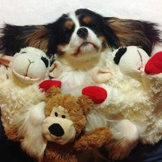Cavaliers love their toys! (not my CKCS, Teddy Bear :-)