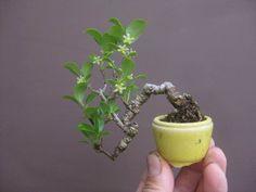盆栽:トキワサンザシ の画像|春嘉の盆栽工房