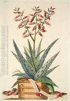 Aloe Vera Costa Spinosa from Phytographia Curiosa by Abraham Munting