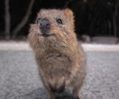 This is a quokka. A quokka is a marsupial. They are found on the islands west of Australia, most notably the island of Rottnest Rottnest was given it's. Happy Animals, Cute Baby Animals, Funny Animals, Wild Animals, Animals And Pets, Wombat, Quokka Baby, Australia Animals, Paludarium
