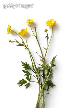 Flowers Buttercup Stock Photo & More Pictures of 2015 Champs, Birth Flowers, Dream Tattoos, Natural Forms, Ranunculus, Flower Pictures, Buttercup, Botanical Art, More Photos