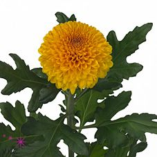 Chrysant sgl. paladov is a Yellow disbudded, single headed cut flower. It is approx. 75cm and wholesaled in Batches of 10 stems.