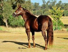 stallion Dually Pep (IMP)