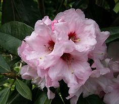 R. 'Perfectly Pink' R. 'Jennie Dosser' - Blooms early in season, grows 6 ft in 10 years, hardy to - 5F.