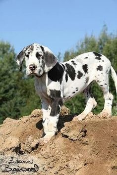 Great Dane Dog Breed Information Explore our website for even more info on great dane puppies. It is a superb location to learn more. Great Dane Funny, Great Dane Dogs, I Love Dogs, Cute Dogs, Baby Great Dane, Great Dane Names, Weimaraner, Harlequin Great Danes, Blue Merle Great Dane