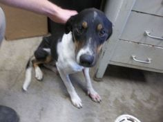 K14 100_5371 - URGENT - CODE RED - Big Spring Animal Control in Big Spring, Texas - This dog is in immediate danger of euthanasia!  It needs to be adopted or rescued now!  If you're reading this, please help or  share.  They don't have descriptions, just a number.