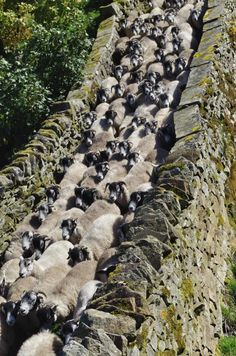 """""""The gathered throng. Yorkshire Dales, Yorkshire England, North Yorkshire, Ireland Culture, Follow The Leader, England And Scotland, English Countryside, Derbyshire, Lake District"""